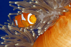A Clown Fish Swimming In Its Anemone Mural Wallpaper