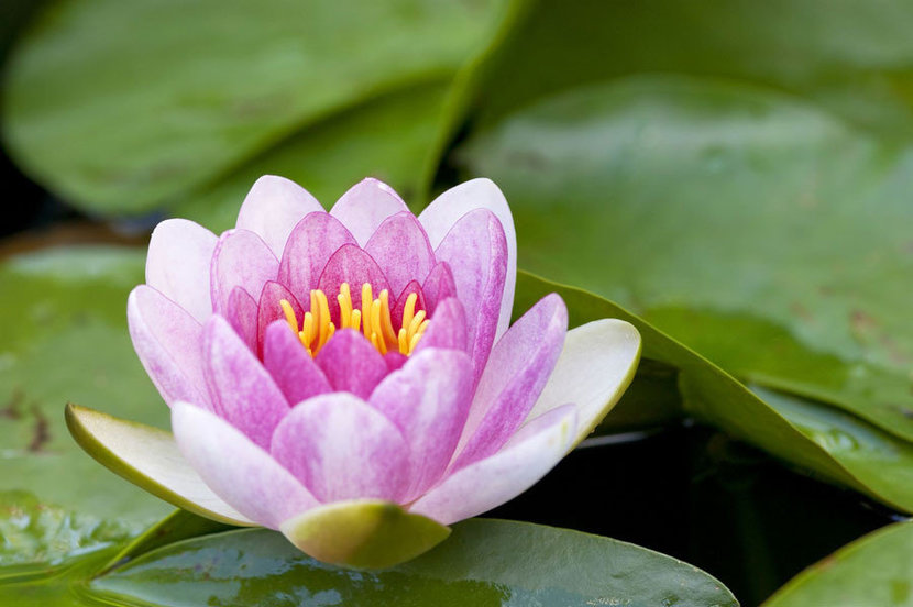 macro view of a single pink blossom opening among green lily pads in a pond