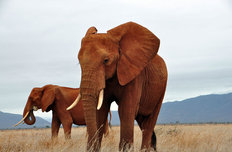 African Elephants Mural Wallpaper