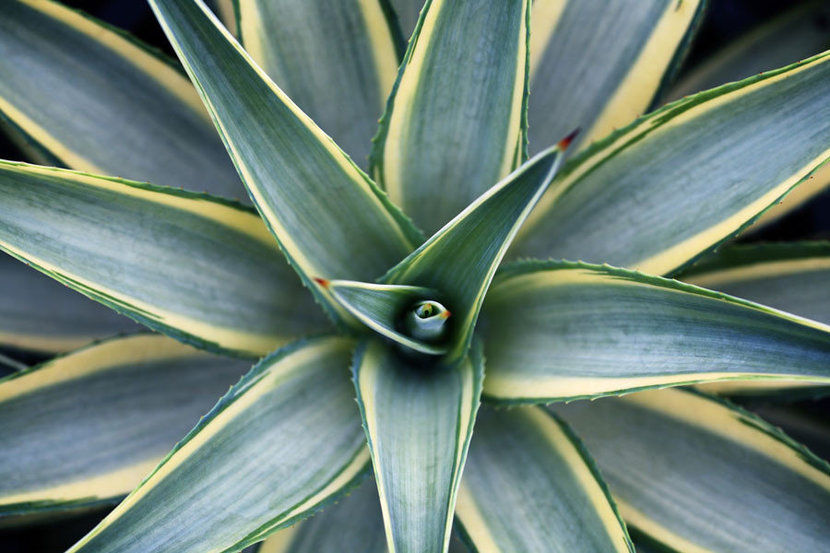 Agave Plant Wall Mural