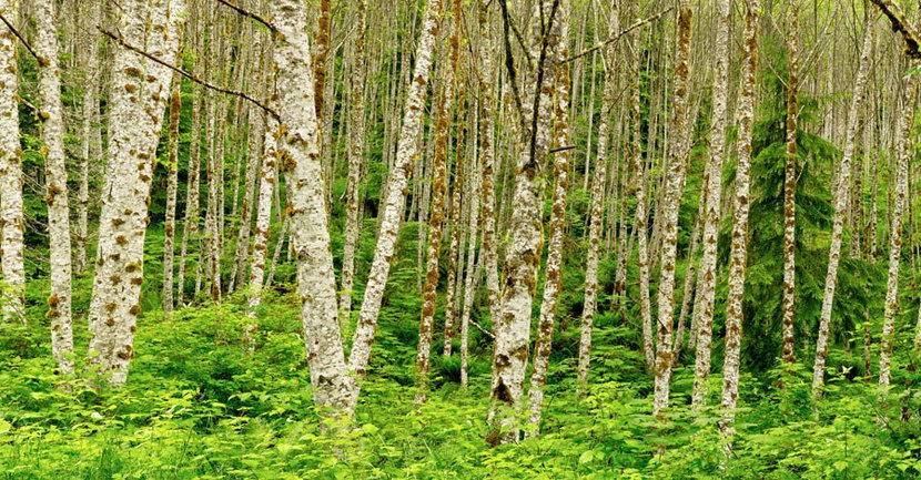 White alder tree trunks in an alder grove forest with one fir tree and leafy green plants