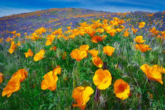 Antelope Valley Poppy Preserve Wall Mural