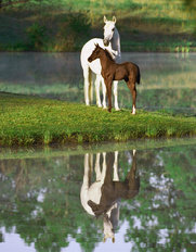 Arabian Mare With Foal Wallpaper Mural