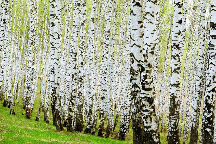 a thick forest of high-contrast Birch tree trunks viewed at angle