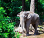 Asian Elephant In a Jungle