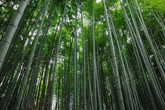 Asian Bamboo Forest Wall Mural
