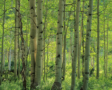 Aspen Forest, Colorado  Wallpaper Mural