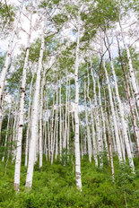 Aspen Forest Near Crested Butte Mural Wallpaper