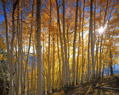 Aspen Grove, Gunnison National Forest Wallpaper Mural