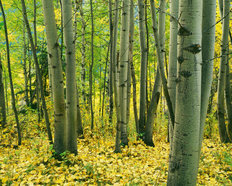 Aspen Grove, Okanogan National Forest Wallpaper Mural