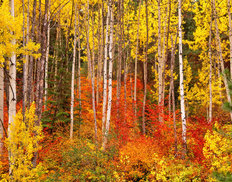 Aspens and Vine Maples in Autumn Wallpaper Mural