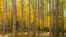 Aspens On The Kenosha Pass Wall Mural