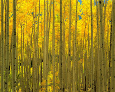 Aspens, White River National Forest, CO Wall Mural