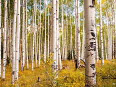 Autumn Aspen Trees Wall Mural