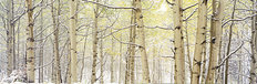 Autumn Aspens With Snow, Colorado Wallpaper Mural