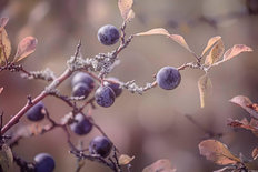 Autumn Berries - Sepia Wall Mural