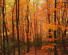Autumn Forest, Blue Ridge Parkway Wall Mural