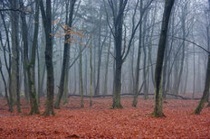 Foggy Autumn Woods Wall Mural