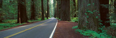 Avenue of the Giants, Humboldt Redwoods, California Wallpaper Mural