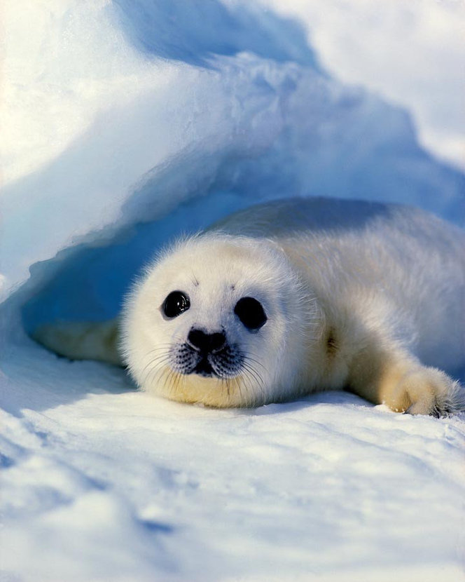 cute baby harp seal playing in the arctic snow