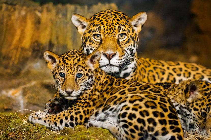 A baby jaguar and its mother pose for the camera
