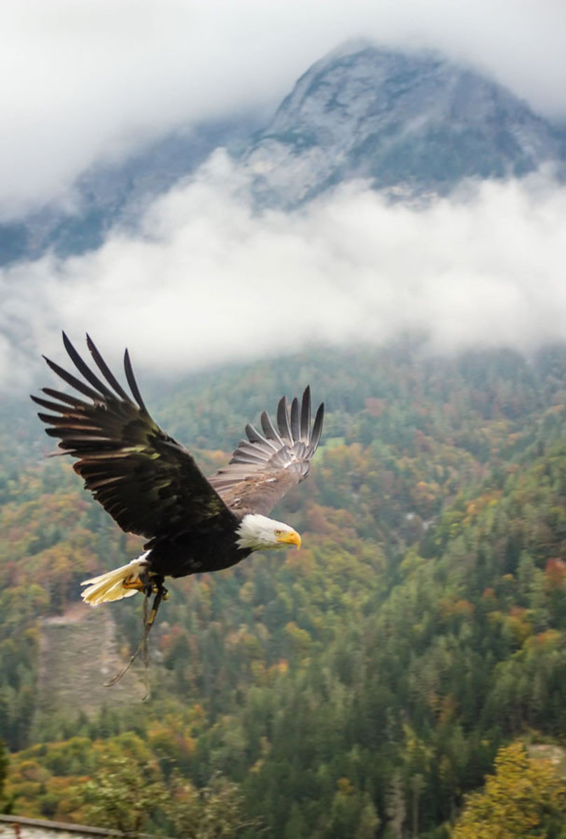 A lone bald eagle flies above a forested mountain