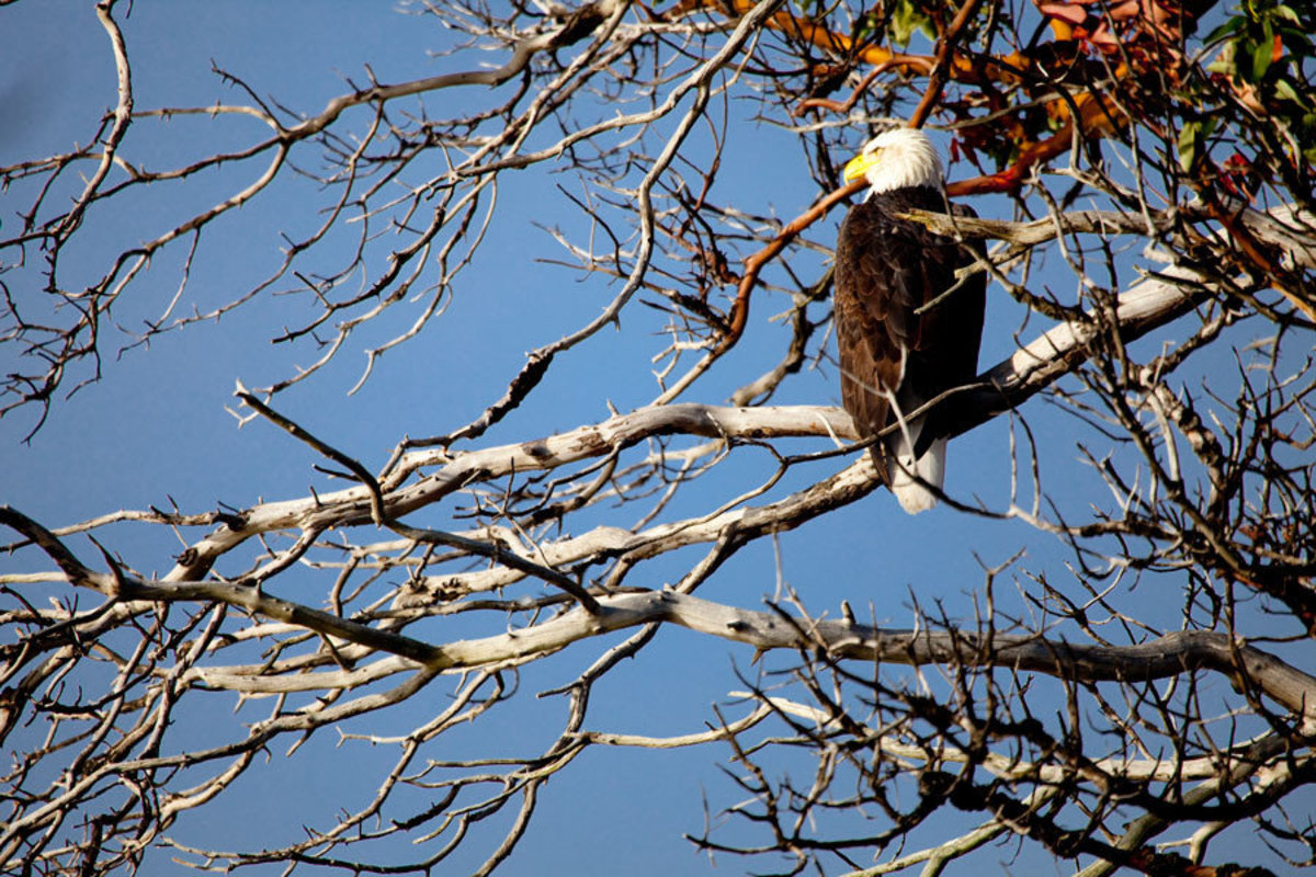 Bald Eagle in a Madrone Tree Mural Wallpaper