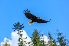 Bald Eagle Soar Mural Wallpaper