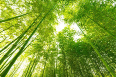 Bamboo Forest Mural Wallpaper