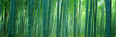 Bamboo Forest, Sagano, Kyoto, Japan Mural Wallpaper