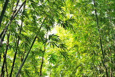 Glorious Bamboo Forest Wall Mural