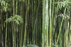 Bamboo Grove Wallpaper Mural