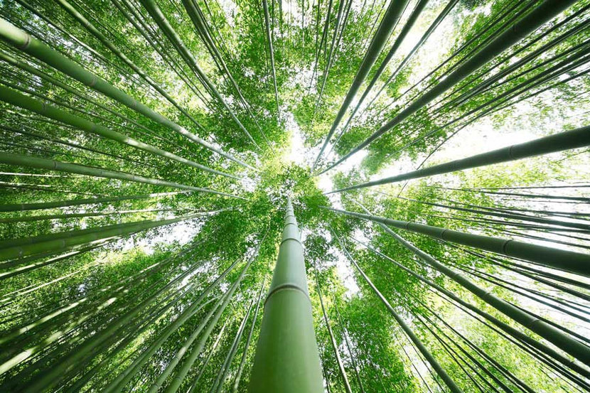 Looking Up Through The Bamboo Trees Wallpaper Mural