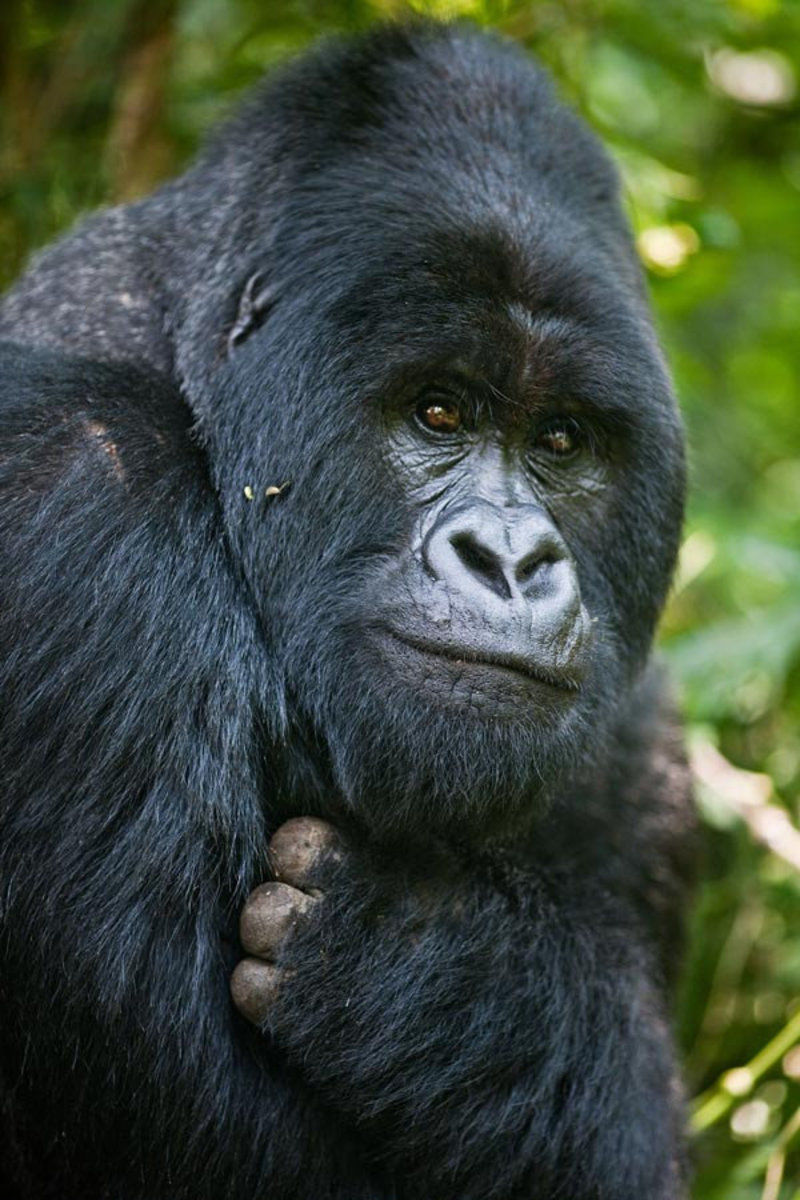 silverback gorilla gives a loving and tender look to the camera
