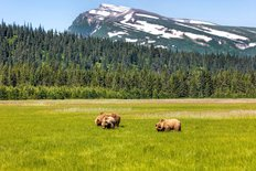Bears Eating In A Field At Lake Clark National Park In Alaska Wall Mural