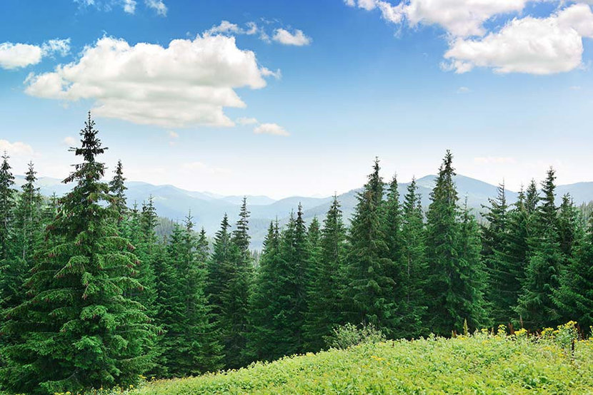 a forest of beautiful pine trees with a field of grasses and wildflowers on a mountain top on a sunny day