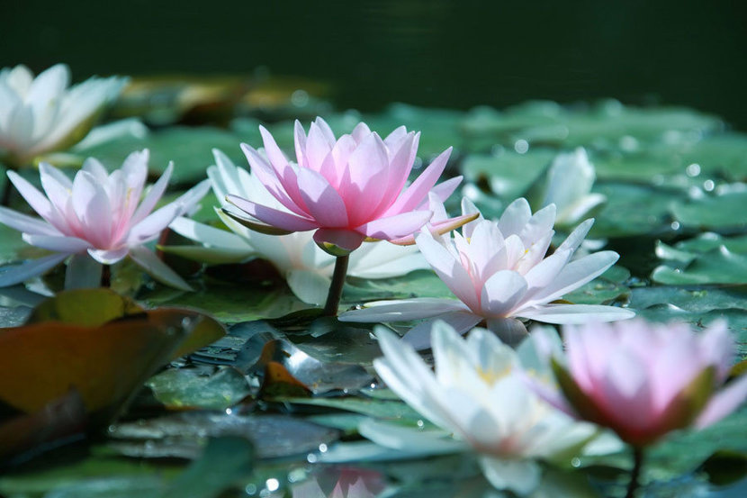 Pretty Pink Waterlilies