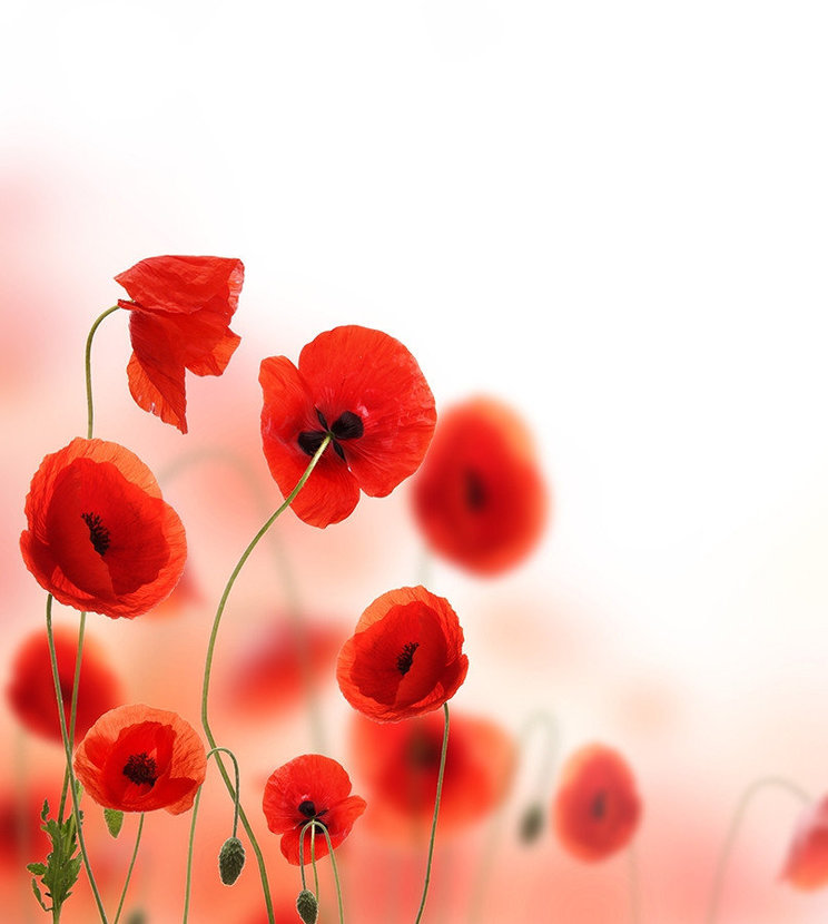 Beautiful Poppies Mural Wallpaper