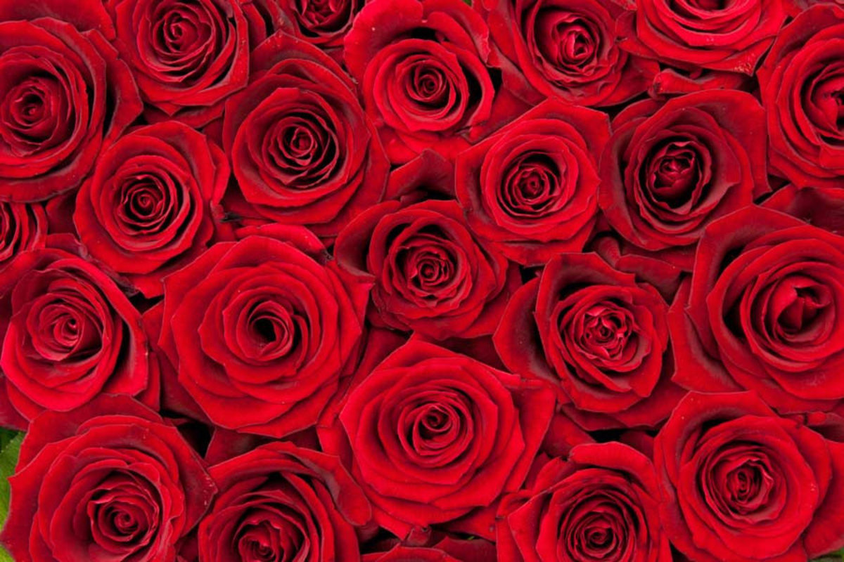 Beautiful Red Roses Wall Mural