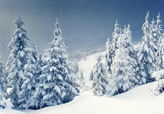 Snow Covered Pines Wallpaper Mural