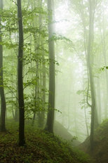 Misty Beech Forest Mural Wallpaper