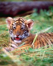 Bengal Tiger Cub  Mural Wallpaper