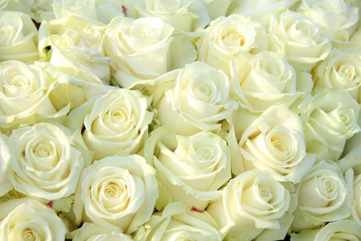 big beautiful flower bouquet of white roses