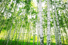 Birch Forest In The Morning Sunlight Mural Wallpaper