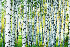 Sunlit Birch Forest Mural Wallpaper
