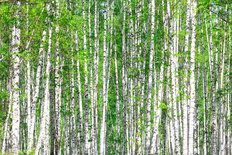 Birch Forest In May Wallpaper Mural