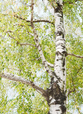 Birch Tree In Summer Wall Mural