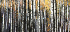 Birch Trees In Autumn Wallpaper Mural