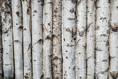 Birch Wooden Background Wall Mural