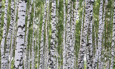 Birchwood Forest Mural Wallpaper